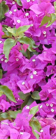 Bougainvillea-web