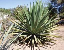 The Agave (unidentified species) used to make the Tuito version of Raicilla